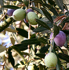 Growing Olive trees